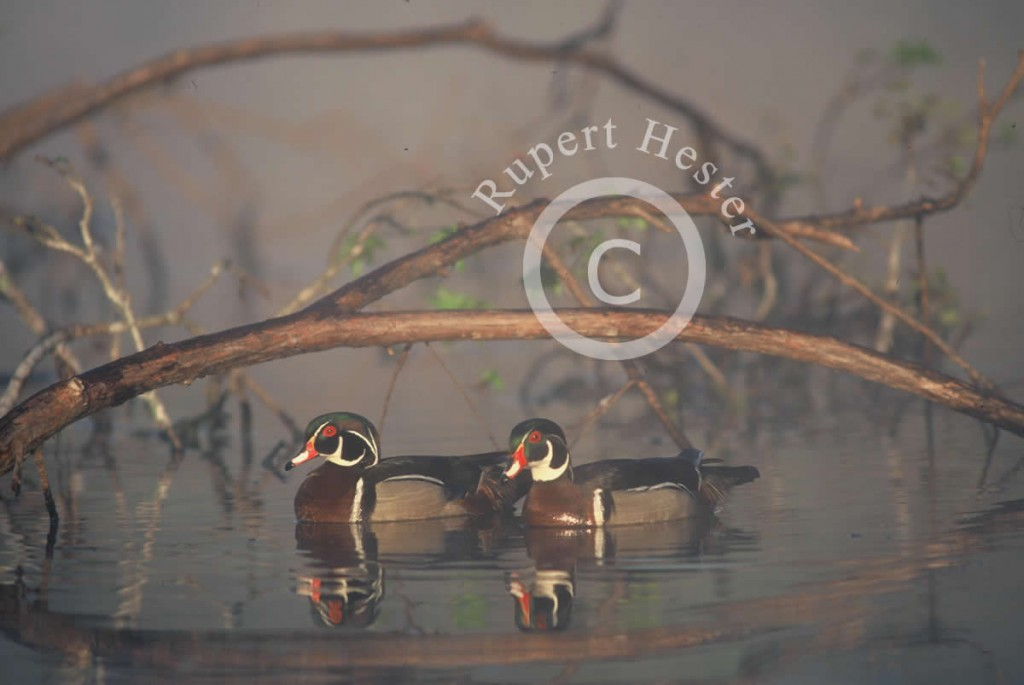 Foggy morning drake Wood Ducks