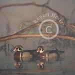 Foggy morning drake Wood Ducks
