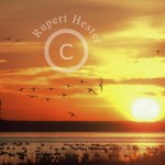Snow Goose Sunrise