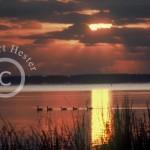 Mattamuskeet Lake Canada Goose Sunrise