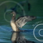 Hen Wood Duck flapping