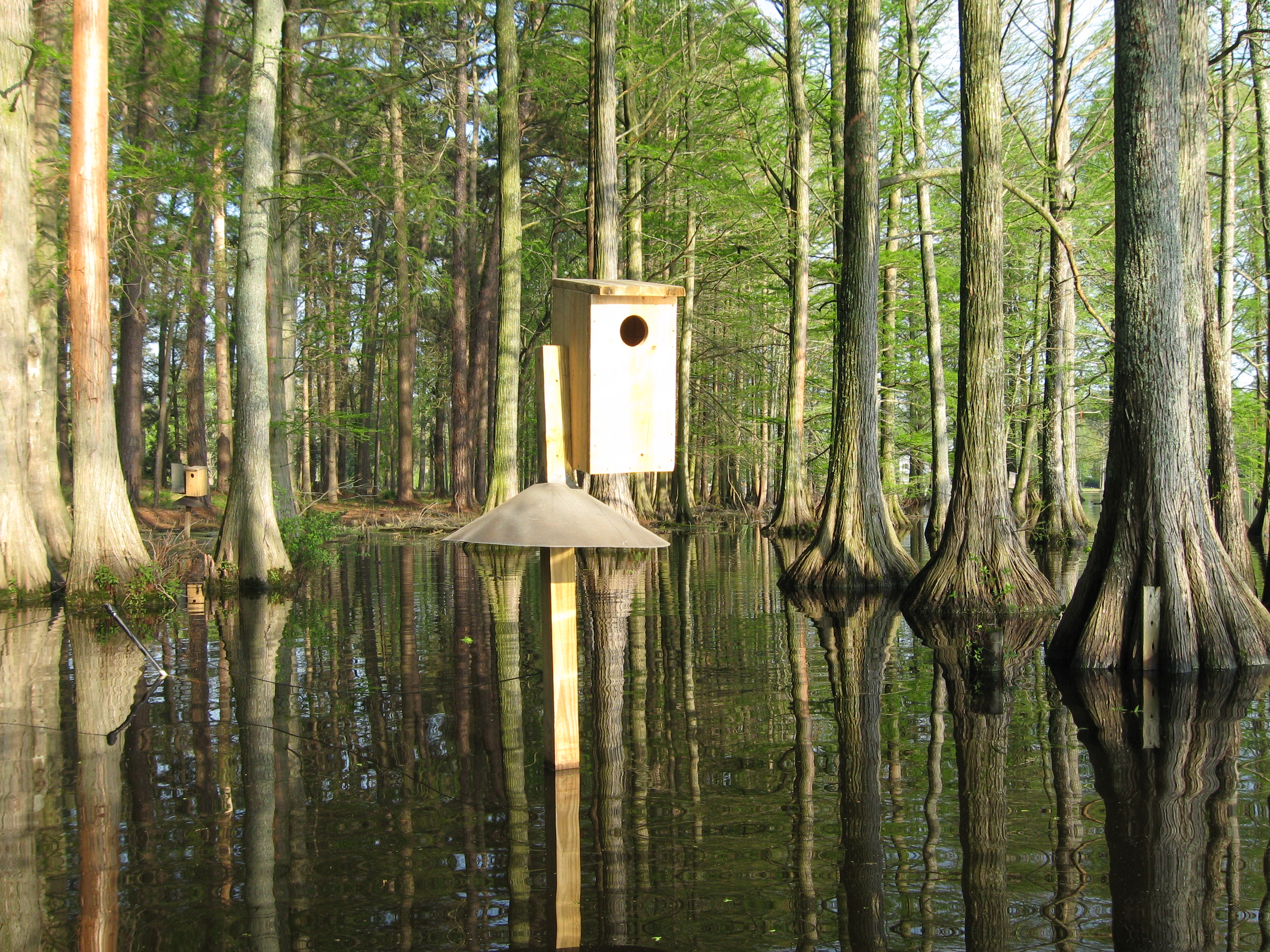 View photos from the woodiecam1 wood duck nest cam woodie wood ducks nest box publicscrutiny Choice Image
